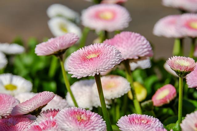 růžová sedmikráska